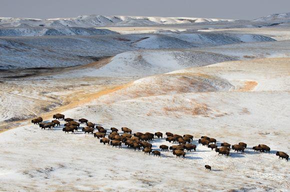 Bison herd on Fort Peck Reservation