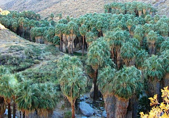 Indian Palm Canyon