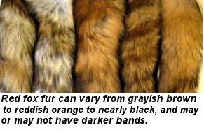 red fox fur color variations