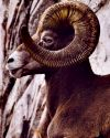 Big Horn Art Prints