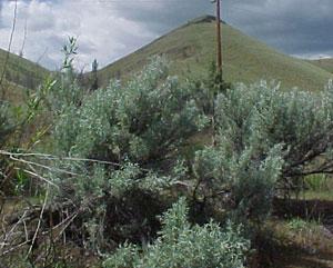desert sagebrush, Artemisia tridentata
