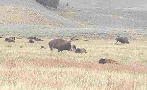Yellowstone Bison Herd