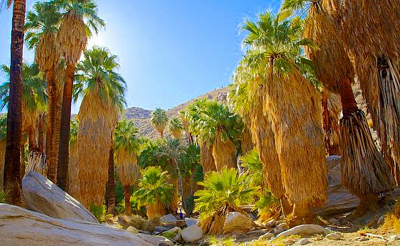 Indian Canyon palm trees on Agua Caliente Indian Reservation of Cahuilla Indians