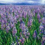 Camas Lily field