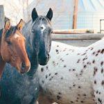 Nez Perce Apaloosa horses