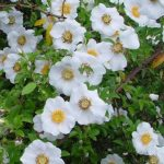 Picture of Cherokee Rose