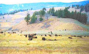 Yellowstone bison herd gathered in a meadow